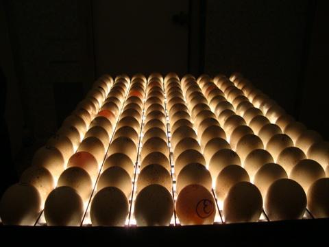 ستر و هچر تخم مرغ