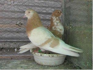 کبوتر جوجه کشی